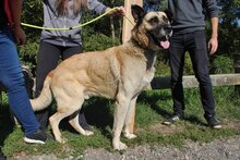 TAPPANCS, Hund, Kangal-Mix in Ungarn - Bild 4