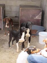 SALINOR, Hund, Bodeguero-Podenco-Mix in Spanien - Bild 3