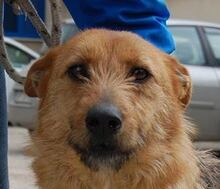 STACY, Hund, Airedale Terrier-Mix in Italien - Bild 1