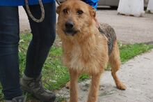 STACY, Hund, Airedale Terrier-Mix in Italien - Bild 2