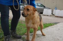 STACY, Hund, Airedale Terrier-Mix in Italien - Bild 3