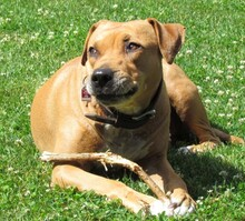 HONEY, Hund, American Staffordshire Terrier-Mix in Fulda - Bild 1
