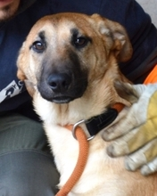 MARCIA, Hund, Malinois-Mix in Italien - Bild 1