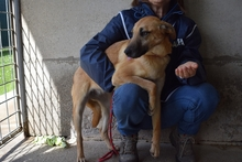 MARCIA, Hund, Malinois-Mix in Italien - Bild 2