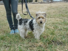 PITYPANG, Hund, Terrier-Mix in Magdeburg - Bild 2