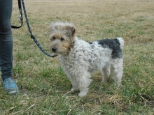 PITYPANG, Hund, Terrier-Mix in Magdeburg - Bild 3