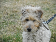PITYPANG, Hund, Terrier-Mix in Magdeburg - Bild 5