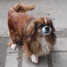 EARLY, Hund, Pekingese-Mix in Ungarn - Bild 2