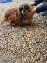 EARLY, Hund, Pekingese-Mix in Ungarn - Bild 3