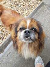 EARLY, Hund, Pekingese-Mix in Ungarn - Bild 5