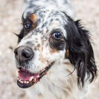 LOKY, Hund, English Setter in Granzin - Bild 1