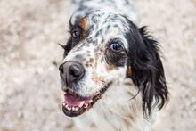 LOKY, Hund, English Setter in Granzin - Bild 10