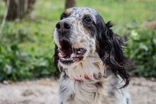 LOKY, Hund, English Setter in Granzin - Bild 11