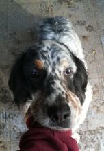 LOKY, Hund, English Setter in Granzin - Bild 12