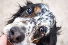 LOKY, Hund, English Setter in Granzin - Bild 14