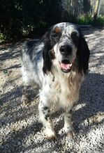 LOKY, Hund, English Setter in Granzin - Bild 17