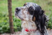 LOKY, Hund, English Setter in Granzin - Bild 2