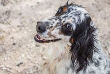 LOKY, Hund, English Setter in Granzin - Bild 3