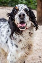 LOKY, Hund, English Setter in Granzin - Bild 8
