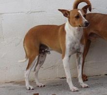 PABLO, Hund, Podenco-Mix in Spanien - Bild 2