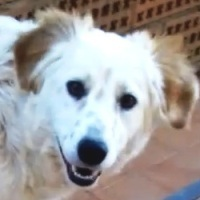 MAKI, Hund, English Setter in Italien - Bild 1