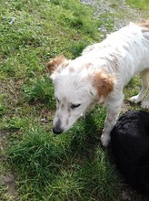 MAKI, Hund, English Setter in Italien - Bild 3