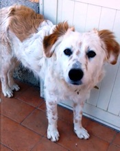 MAKI, Hund, English Setter in Italien - Bild 4