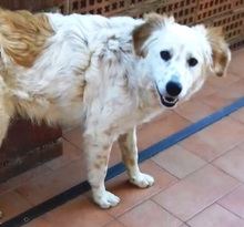MAKI, Hund, English Setter in Italien - Bild 5
