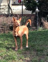 QUIJOTE, Hund, Podenco-Mix in Spanien - Bild 3