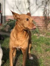 QUIJOTE, Hund, Podenco-Mix in Spanien - Bild 5