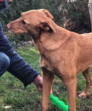 QUIJOTE, Hund, Podenco-Mix in Spanien - Bild 6