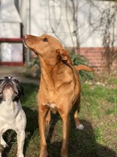 QUIJOTE, Hund, Podenco-Mix in Spanien - Bild 8