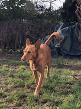 QUIJOTE, Hund, Podenco-Mix in Spanien - Bild 9