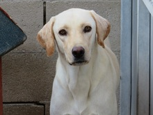 DUSTY, Hund, Labrador-Mix in Spanien - Bild 1