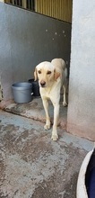 DUSTY, Hund, Labrador-Mix in Spanien - Bild 2