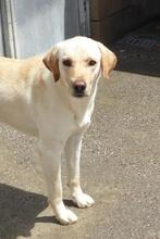 DUSTY, Hund, Labrador-Mix in Spanien - Bild 3