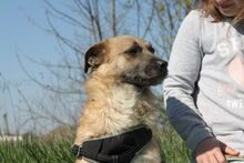 LUKE, Hund, Border Terrier-Mix in Ungarn - Bild 2
