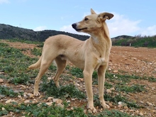TEO, Hund, Podenco Maneto-Mix in Spanien - Bild 2