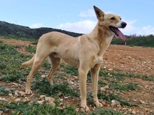 TEO, Hund, Podenco Maneto-Mix in Spanien - Bild 3
