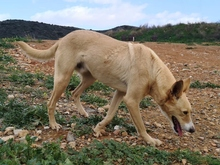 TEO, Hund, Podenco Maneto-Mix in Spanien - Bild 4