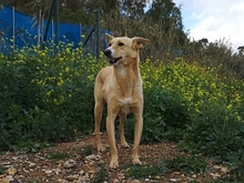 TEO, Hund, Podenco Maneto-Mix in Spanien - Bild 6
