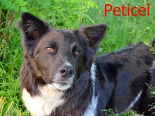 PETICEL, Hund, Border Collie-Mix in Rumänien