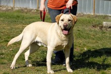NERO, Hund, Labrador Retriever in Neuhausen - Bild 1