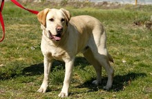 NERO, Hund, Labrador Retriever in Neuhausen - Bild 4
