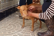 HOPE, Hund, Podenco in Spanien - Bild 4