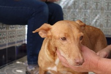 HOPE, Hund, Podenco in Spanien - Bild 5