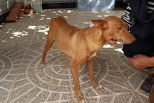 HOPE, Hund, Podenco in Spanien - Bild 6