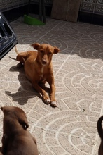 HOPE, Hund, Podenco in Spanien - Bild 7