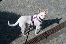 NATA, Hund, Podenco-Mix in Berlin - Bild 6