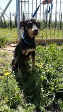 LOKI, Hund, Pinscher-Mix in Spanien - Bild 1
